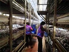 暂停产品出口及给周边城市供货,上海金山廊下每天供应上海市场的蘑菇翻三倍! ()