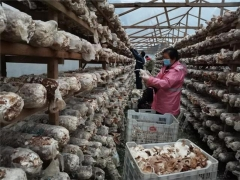 """开放香菇市场 发放3000份通行证……庆元打开食用菌生产销售""""新渠道"""" ()"""