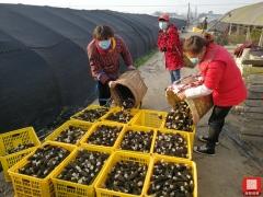 绵阳市安州区千余亩羊肚菌丰收 群众不误农时忙采摘 ()