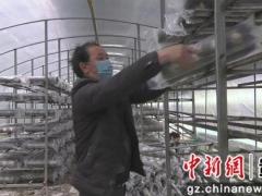 """安龙:吹响新市民食用菌生产""""集结号"""" ()"""