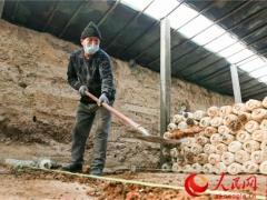新疆呼图壁县:蘑菇采收忙(科学防疫 有序复工) ()