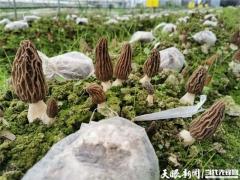 """羊肚菌基地来了""""智囊团""""——贵州省农科院牵手黔西县谱写产业调整富民谣 ()"""