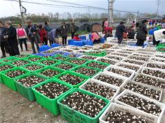 四川绵阳:千亩羊肚菌喜获丰收,价格上涨 ()