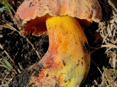 Butyriboletus floridanus
