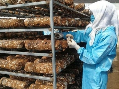 青海门源打造全省最大香菇种植和精深加工基地 ()