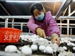 宁夏:六盘山西麓betvlctor伟德菇基地挺过了疫情影响 小菌菇撑开幸福伞 ()