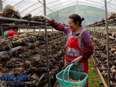 重庆云阳:香菇基地生产忙 带动当地村民增收 ()