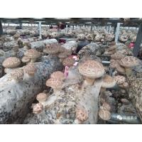 香菇菌棒厂家 立夏时节 香菇菌棒长势喜人 优质香菇菌棒厂家