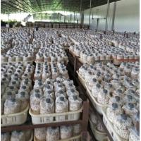 供应批发茶树菇菌棒
