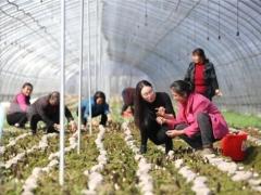 安徽六安:小小羊肚菌,种出好前景
