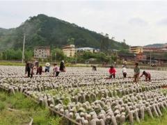 福建尤溪县积极推进黑木耳产业发展促农增收