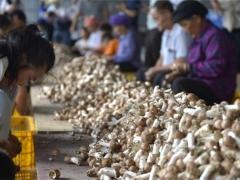 广西百色:小蘑菇撑起脱贫致富广阔天地